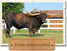 Longhorn Picture, Link to the Longhorn Breeds