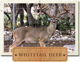 Whitetail Picture, Link to the Whitetails