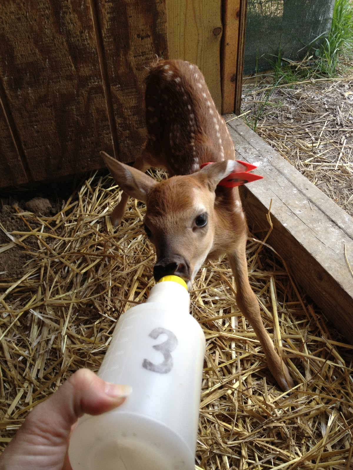 Doe fawn bottle feeding