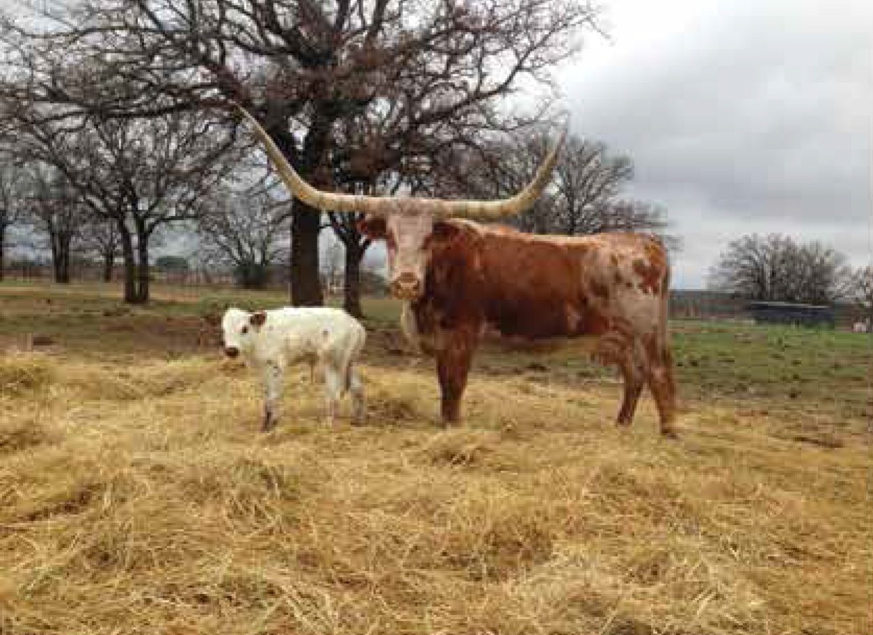 HL Bright Star with her heifer calf from Cool Texa.