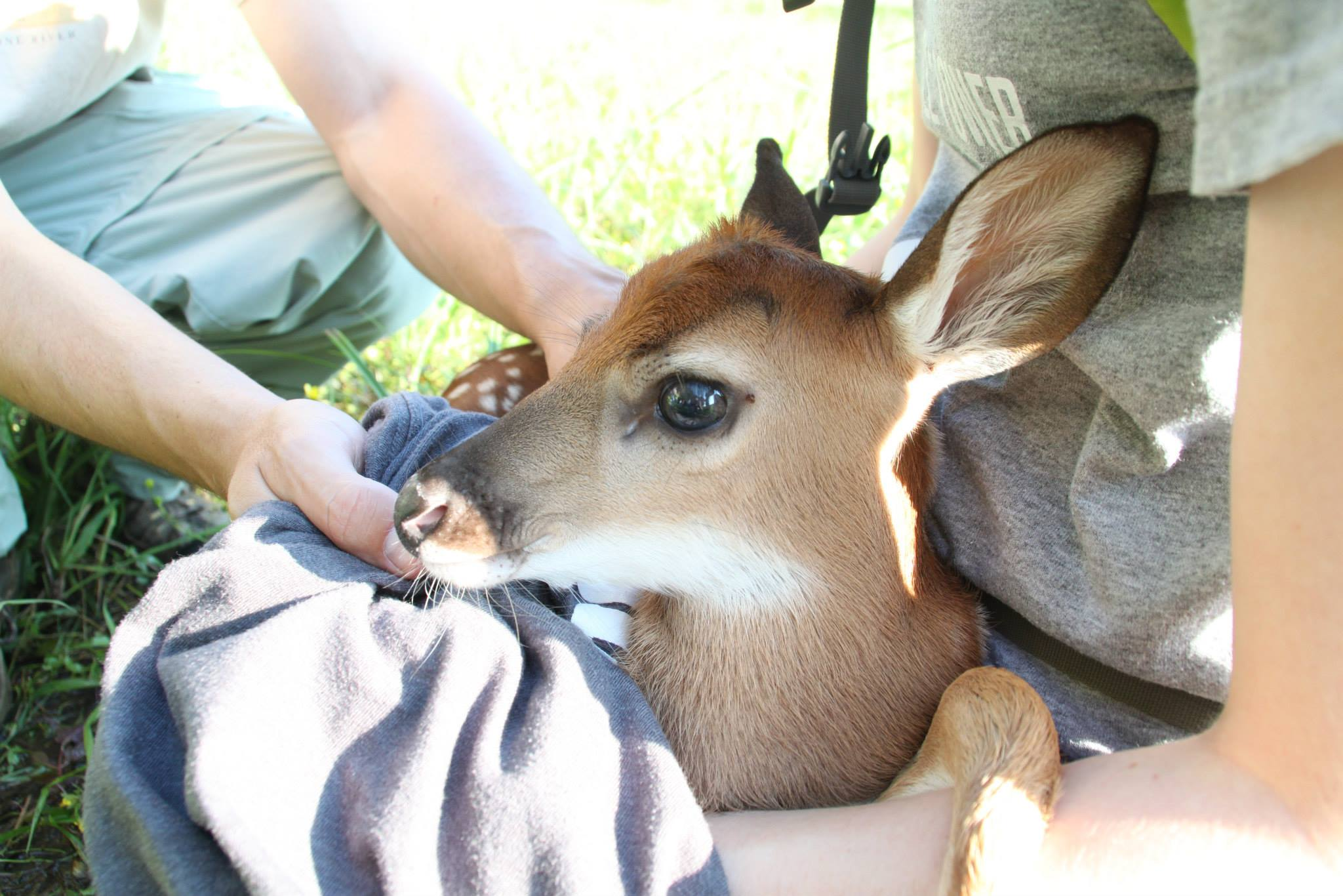 Holding baby fawn