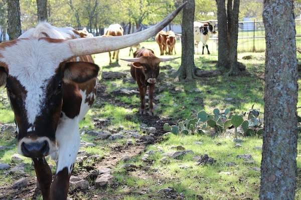 NBP Longhorns ranch