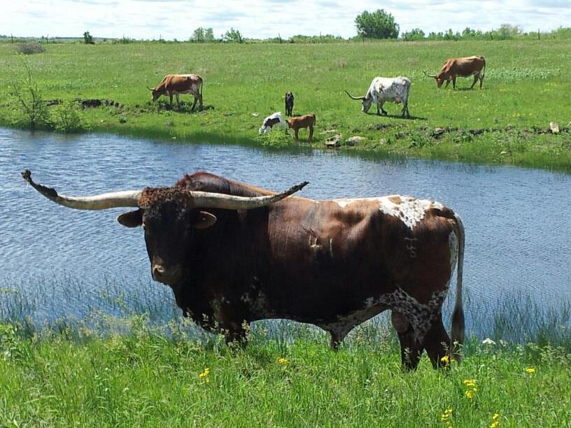 Pleasant Hill Longhorns Bull