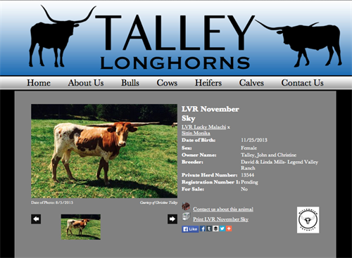 Talley Longhorns-animal