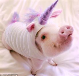 Unicorn Pig Carteres News Agency